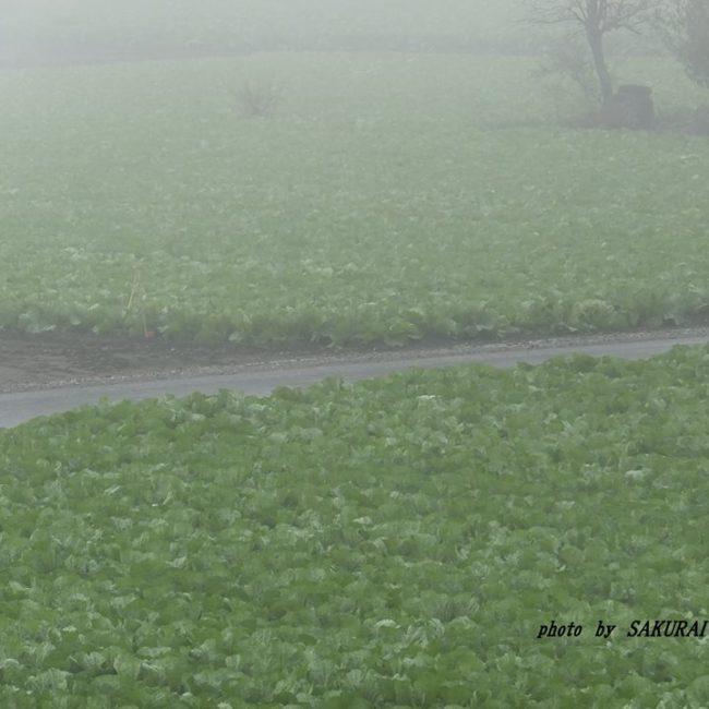 霧の白菜畑 2014.11.2