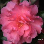 八重でピンクのバラのようなサザンカ 2014.11.6 栃木県小山市