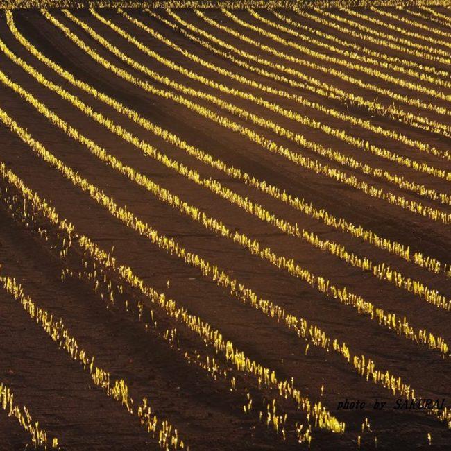 ビール麦の芽だし 2014.11.7