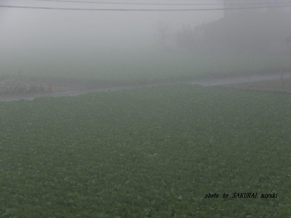 濃霧の白菜畑 2014.11.13