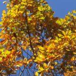 秋晴れに映えるコナラの黄葉 2014.11.16 栃木県小山市