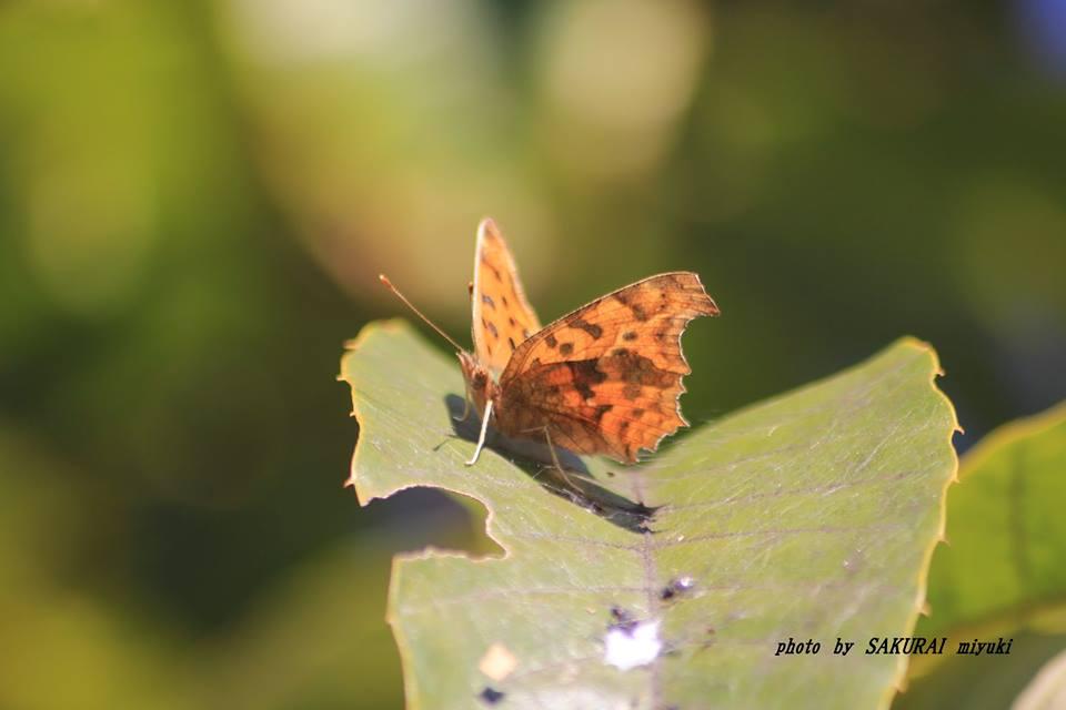 キタテハ 2014.11.18