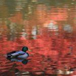 血の池地獄のなかを泳ぐマガモ 2014.11.18 栃木県小山市