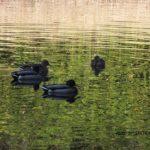 緑の水面に緑の頭のマガモ 2014.11.20 栃木県小山市