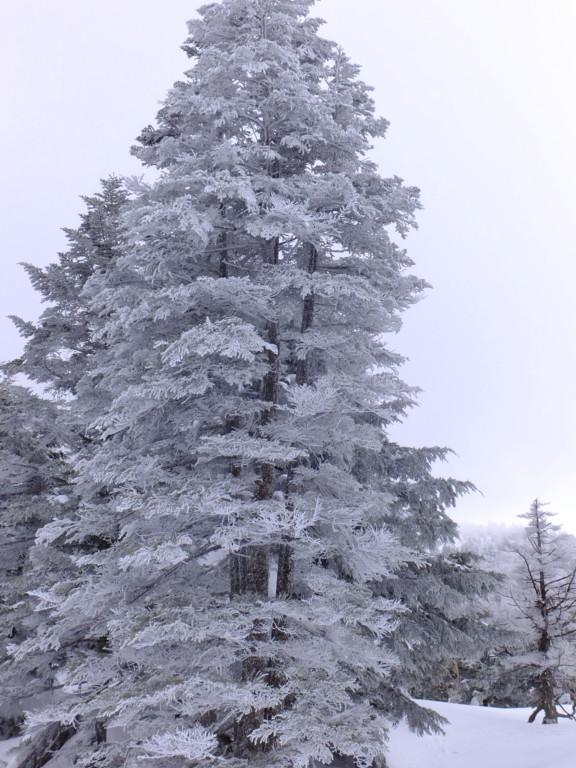木に着いた雪がきれい