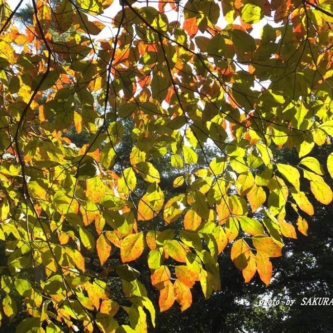 ハナミズキ黄葉 2014.9.22