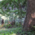 いままで何回も見てるのに初めて気づいたラクウショウの膝根 2014.9.26 栃木県小山市