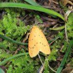 幼虫は苔を食うというゴマダラキコケガ 2014.9.3 栃木県小山市