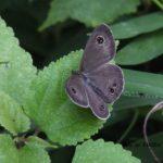 よく蛾と間違われるヒメウラナミジャノメ 2014.9.4 栃木県小山市