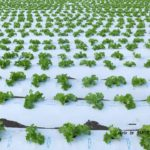 そのまま食べたくなるようなレタス畑 2014.9.5 栃木県小山市