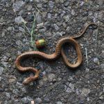 年に1~2回しか会わない蛇のうちさらに初めて会うジムグリという蛇 2014.9.6 栃木県小山市