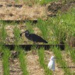 カエル飲み込む直前のアオサギ 2014.9.9 栃木県小山市