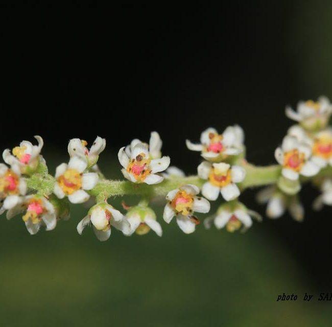 ヌルデの花 2014.9.10