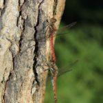 雑木林でまったりするアキアカネペア 2014.9.19 栃木県小山市