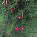 クリスマスツリーのようなルコウソウ 2014.9.20 栃木県小山市