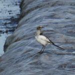 まだ色のうすいセグロセキレイ幼鳥が田んぼに 2014.8.11 栃木県小山市