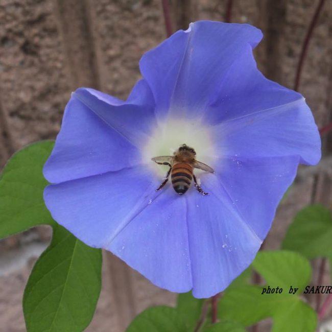 ミツバチとアサガオ 2014.8.12