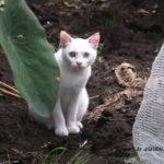 いつものコースを変えたら左右の目の色が違うネコに会えた 2014.8.12 栃木県小山市