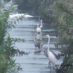 野鳥の楽園のようなフツーの用水 2014.8.15 栃木県小山市