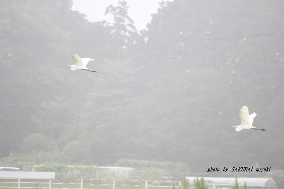 ダイサギ 2014.8.18