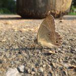 あまり見かけないヒカゲチョウ 2014.8.22 栃木県小山市