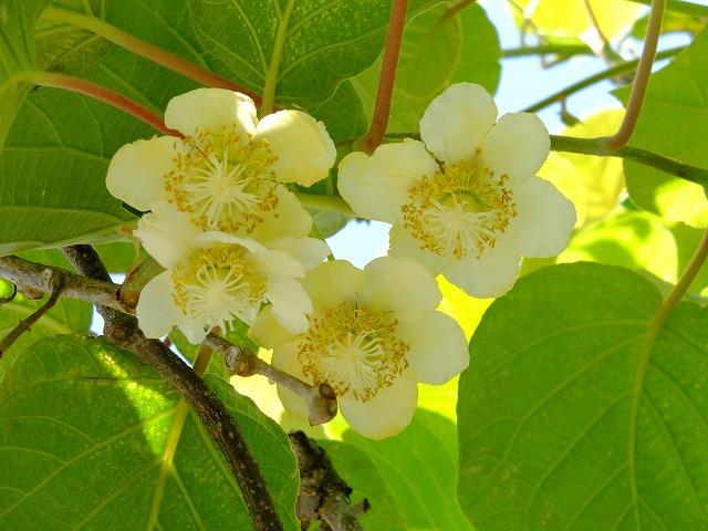 キウイフルーツの花