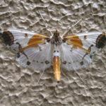 こんなきれいな蛾、初めて見た、ツマグロシロノメイガ 2017.6.3 長野県湯田中温泉