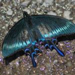 クジャクの羽のような金属光沢が美しいミヤマカラスアゲハ春型オス 2017.6.4 長野県