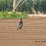 これからレタス畑になる場所にひとり佇むオスのキジ 2014.8.4 栃木県小山市