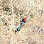 長野県(信州)山ノ内町でみられる野鳥 1 キジ