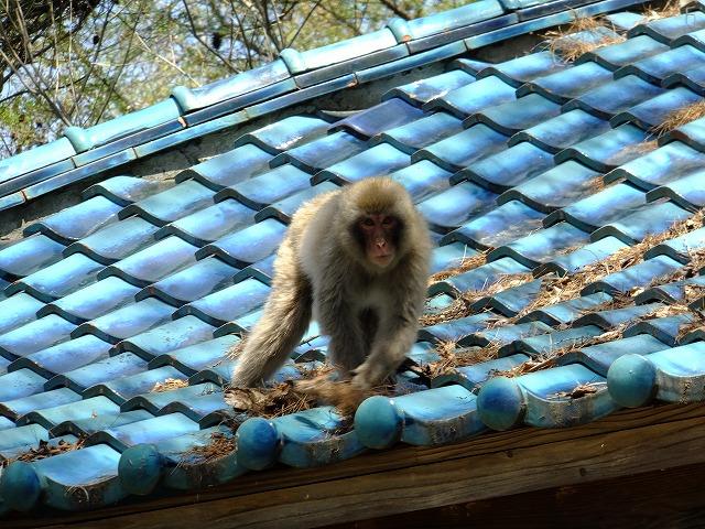 一茶堂の屋根で遊ぶ子ザル