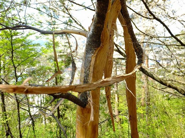 サルにかじられた木