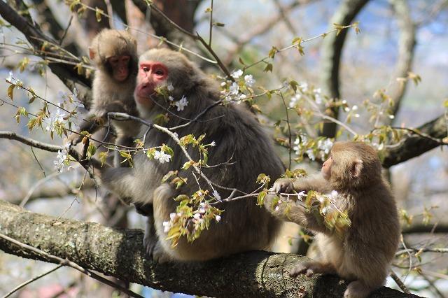 桜の花を食べる家族サル?