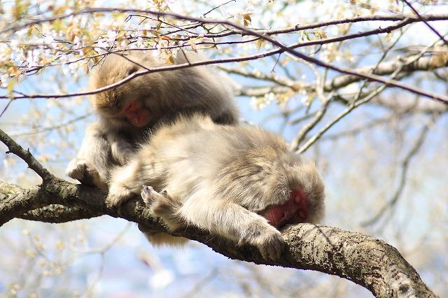 枝の上で横になるサル