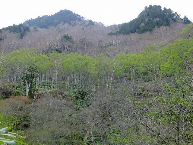 シラカンバの新緑、坊寺山