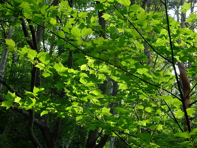 カエデ類の新緑