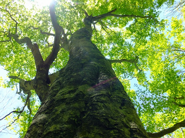 ブナの巨木と新緑