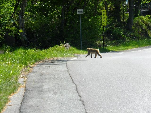 歩行者あり、サル