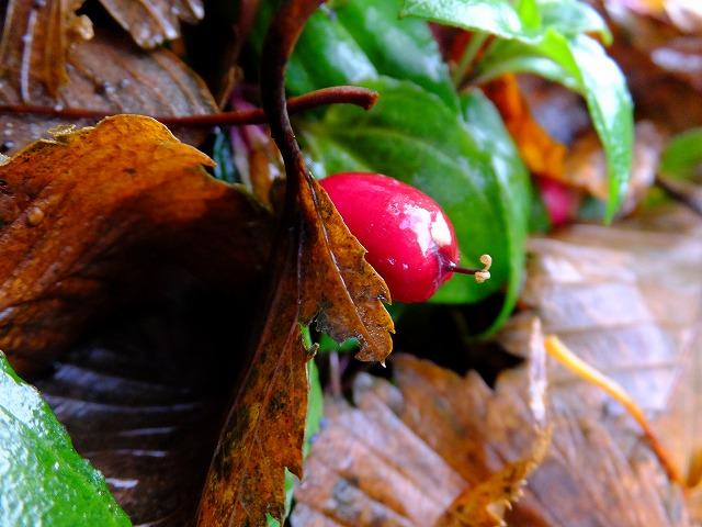 種名不詳の赤い実