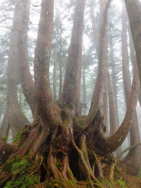 クロベの巨木