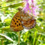 志賀高原のヒョウモンチョウ類の研究