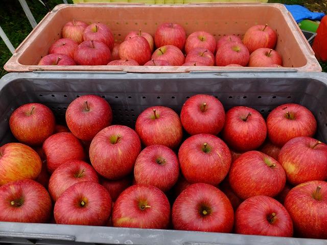 ふじりんご収穫