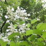 今朝の散歩中に出会った花:ノリウツギ 2014.6.28 栃木県小山市