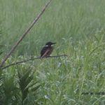 今朝の散歩中に出会った鳥:カワセミ 2014.6.19 栃木県小山市