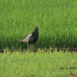 今朝の散歩中に出会った鳥:キジ 2014.6.20 栃木県小山市