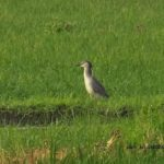 今朝の散歩中に出会った鳥:ゴイサギ 2014.6.21 栃木県小山市