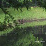 今朝の散歩中に出会った鳥:カルガモ 2014.6.23 栃木県小山市