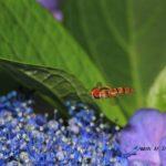 今朝の散歩中に出会った昆虫:ホソヒラタアブ 2014.6.24 栃木県小山市