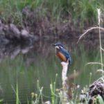 今朝の散歩中に出会った鳥:カワセミ 2014.6.24 栃木県小山市