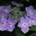 今朝の散歩中に出会った花:アジサイ(オオアマチャ) 2014.6.11 栃木県小山市
